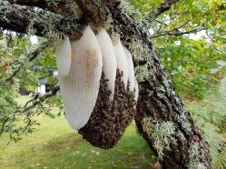 Wild honey bee nest (photo Colin Devine)