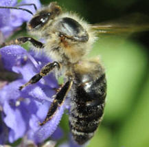 Caucasian honey bee