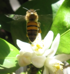 Apis Mellifera Scutellata on orange blossoms