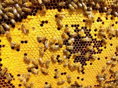 Italian mongrels with fluffly newly-emerged bee (Photo: John Tait)