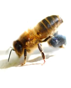 Rosebay willowherb pollen