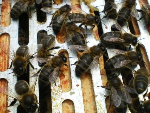 Black bees (Photo: Ian Mackley)