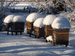 Apiary in the snow (Photo Ian Mackley)