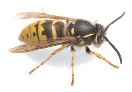 Common wasp, Vespa vulgaris isolated on white background