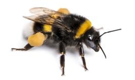 Bumble-bee-1160x655-2
