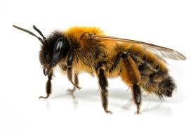 Female Andrena Mining-bee